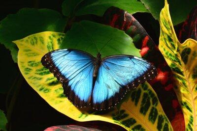 Cuadro A bastante azules tierras mariposa morfo en los Jardines de la mariposa.