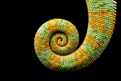 Cuadro A curled up tail of a yemen chameleon isolated on a black background