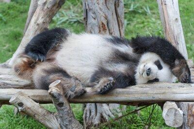 Cuadro A dormir oso panda gigante