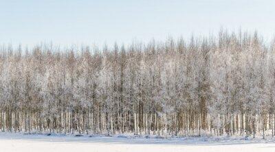 Cuadro Abedules hivernales en Finlandia