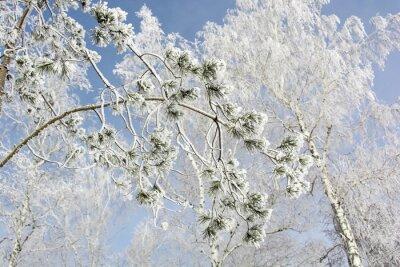 Cuadro Abeto rama de un árbol en el bosque de invierno