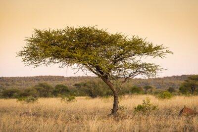 Cuadro Acacia África árbol