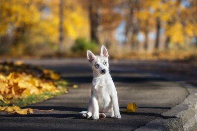 Cuadro Adorable husky siberiano cachorro sentado al aire libre en otoño