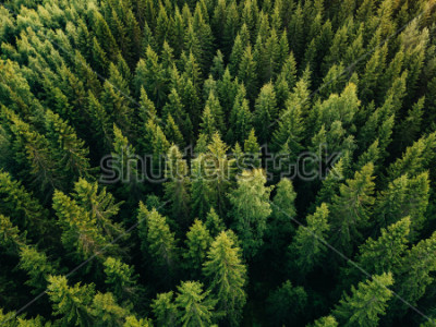 Cuadro Aerial top view of summer green trees in forest in rural Finland. Drone photography
