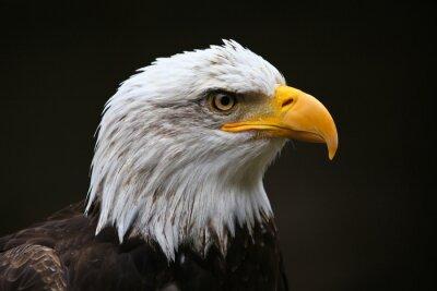 Cuadro Águila calva Perfil