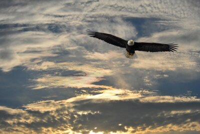 Cuadro Águila calva volando sobre Alaska