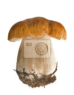 Cuadro aislado cep mushroom