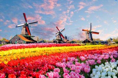 Cuadro Ajardine con los tulipanes, los molinoes de viento holandeses tradicionales y las casas cerca del canal en Zaanse Schans, Países Bajos, Europa