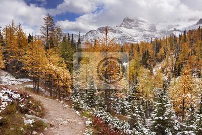Alerces en otoño después de la primera nieve, Banff NP, Canadá