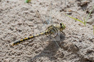 Alicates pequeña libélula (Onychogomphus forcipatus) mujeres