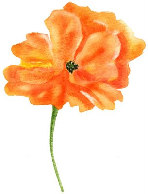 Cuadro Amapola naranja Acuarela pintura, aislado en fondo blanco