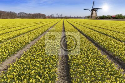 Amarillo narciso bulbo granja en Lisse y Hilligome ciudad holandesa