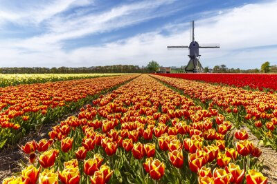 Amarillo rojo granja de bulbo de tulipán con un molino de viento en el campo