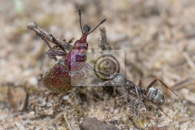 Ameise contra Rüsselkäfer Purpurroter Fruchtstecher - Rhynchites bacchus