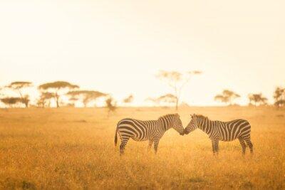 Cuadro Amor de la cebra en el Serengeti