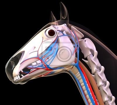 Anatomía cabeza de caballo pinturas para la pared • cuadros ...
