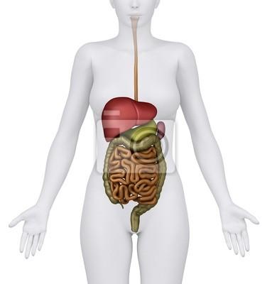 Anatomía de la hembra del sistema digestivo órganos - anerior ...