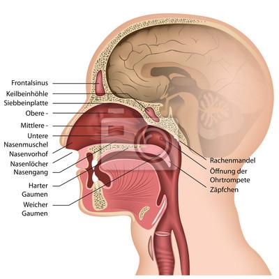 Anatomía de la nariz con la descripción, el alemán pinturas para la ...
