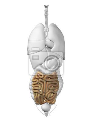 Anatomía de órganos humanos pinturas para la pared • cuadros colon ...