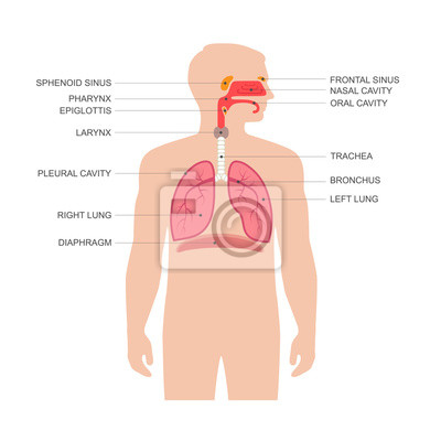 Anatomía del aparato respiratorio humano, médico nariz vector ...