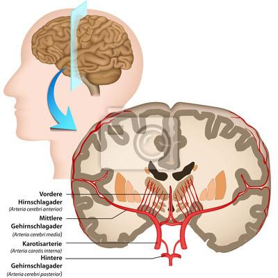 Anatomía del cerebro humano, el suministro de sangre pinturas para ...