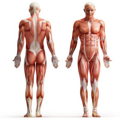 Cuadro anatomía, músculos