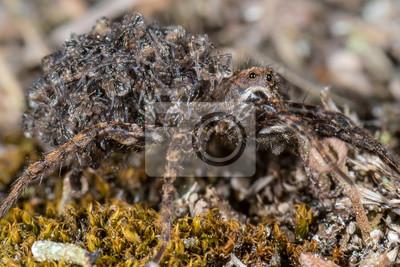 Araña de lobo con crías en la espalda