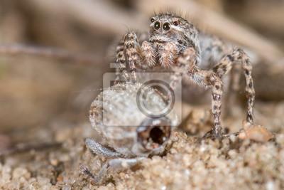 Araña de salto aelurillus v-insignitus - hembras
