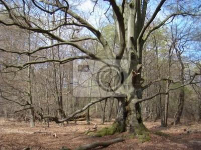 Árbol antiguo en la selva Sababurg