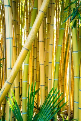 Cuadro Bamboo forest. Natural background. bamboo plant