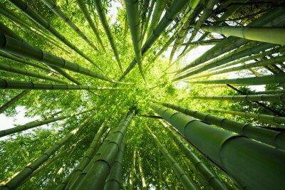 Cuadro Bambú verde fondos de la naturaleza