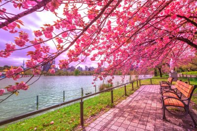 Cuadro Bancos debajo de los cerezos en plena floración durante Hanami a lo largo de la charca de Shinobazu en el parque de Ueno, un parque cerca de la estación de Ueno, Tokio central. Ueno Park es considerad