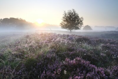beautiful blooming heather at misty sunrise