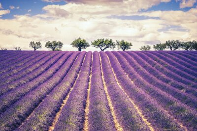Cuadro Beautiful Lavender field