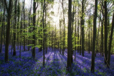 Cuadro Beautiful morning in Spring bluebell forest with sun beams throu