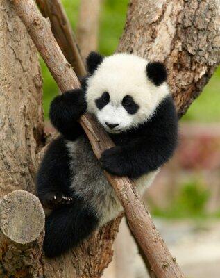 Cuadro Bebé panda gigante sobre el árbol