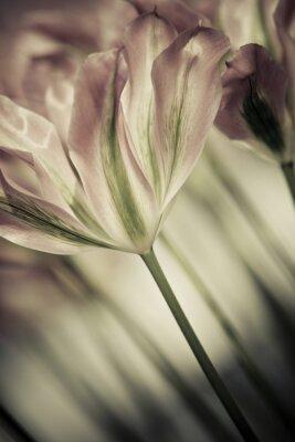 Cuadro Bella arte de los tulipanes del primer, enmascarada y del sostenido