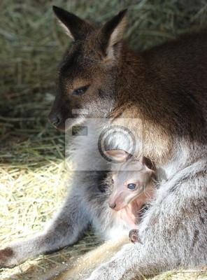 Bennettkängurumutter putzt ihr bebé im Beutel
