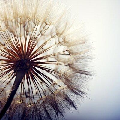 Cuadro big dandelion on a blue background