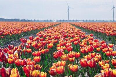 big orange tulip field on dutch farmland