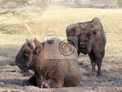 Bisonte en el Tierpark Sababurg