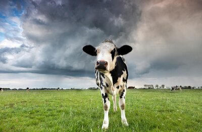 black and white cow on pasture during storm