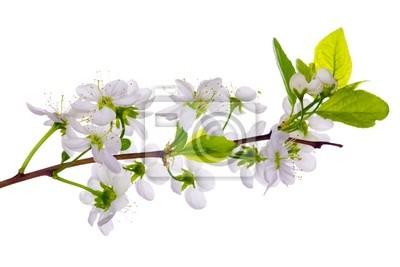 Cuadro blanco cherry blossom close-up