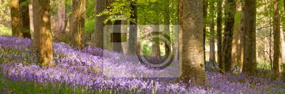 Blooming bluebells in Northern Ireland