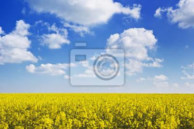 Blooming canola bajo un cielo azul con nubes