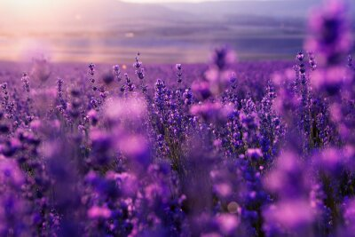 Cuadro blurred summer background of wild grass and lavender flowers