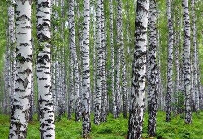 Cuadro bonito bosque de abedules de verano