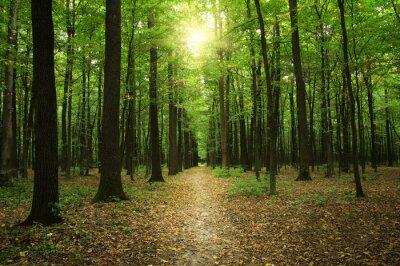 Cuadro Bosque con luz solar