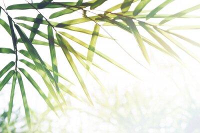 Cuadro Bosque de bambúes o follaje de bambú y luz solar y espacio para texto