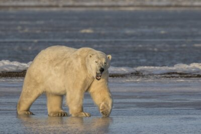 Cuadro Bostezo, polar, oso, ambulante, hielo